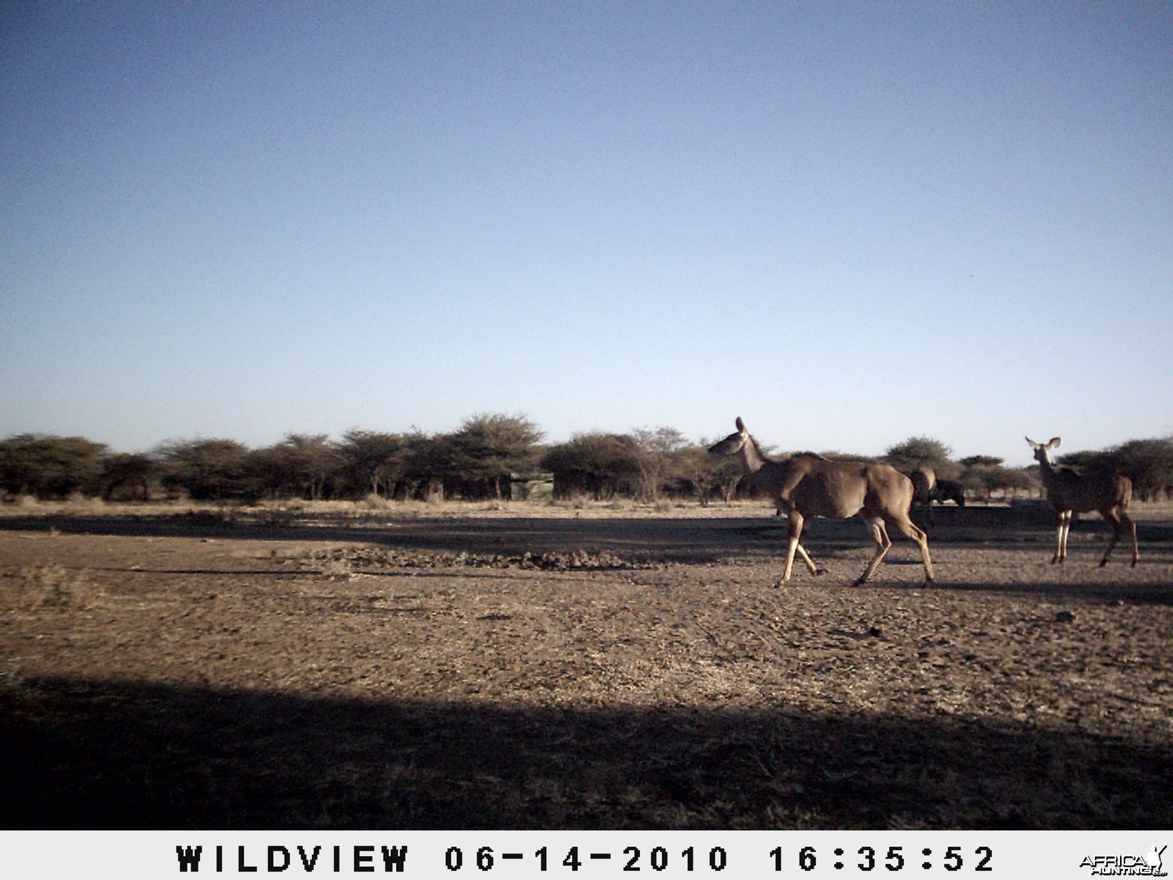 Kudus and Blue Wildebeest, Namibia