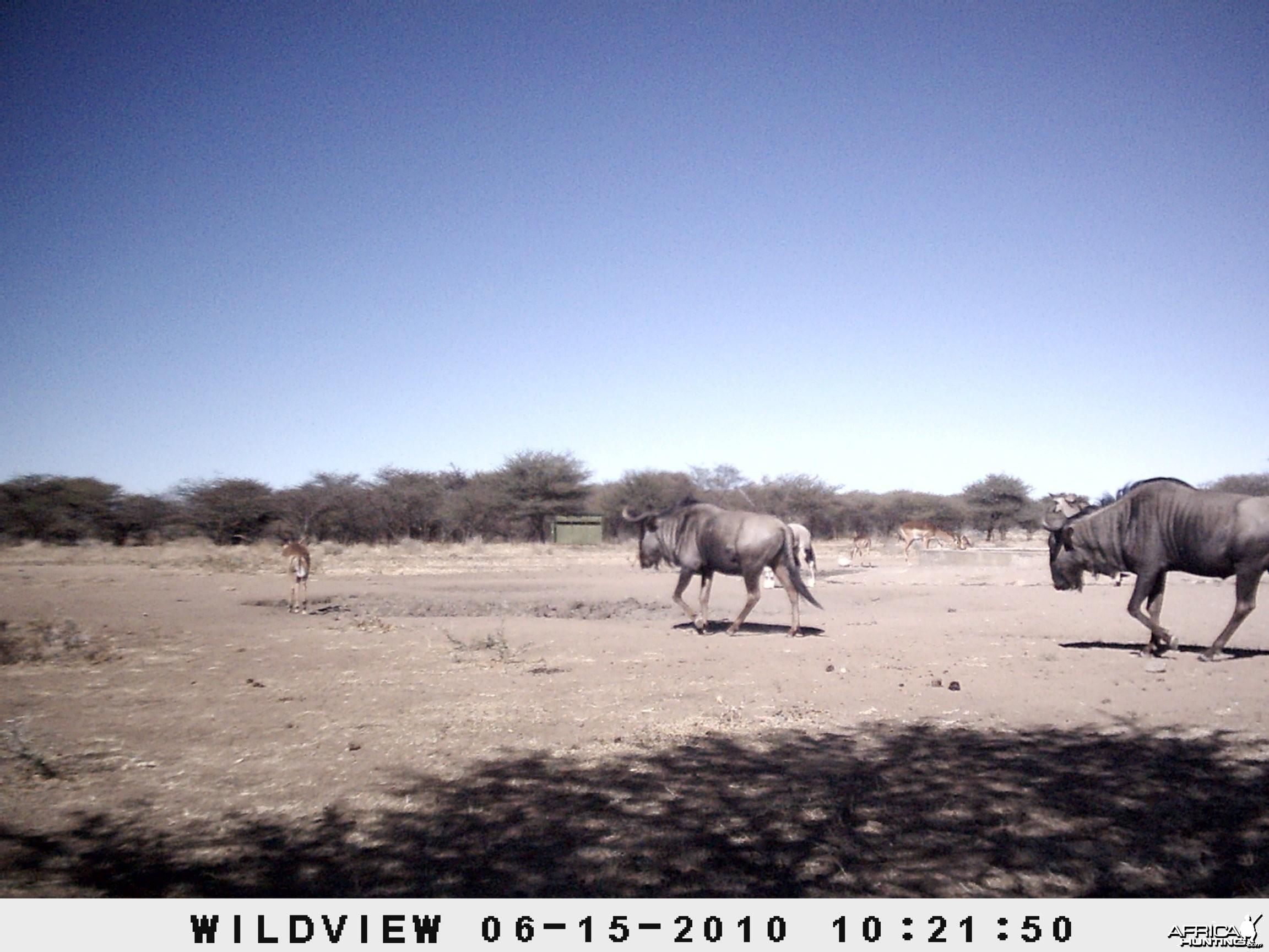 Kudu, Blue Wildebeest, Impala, Namibia