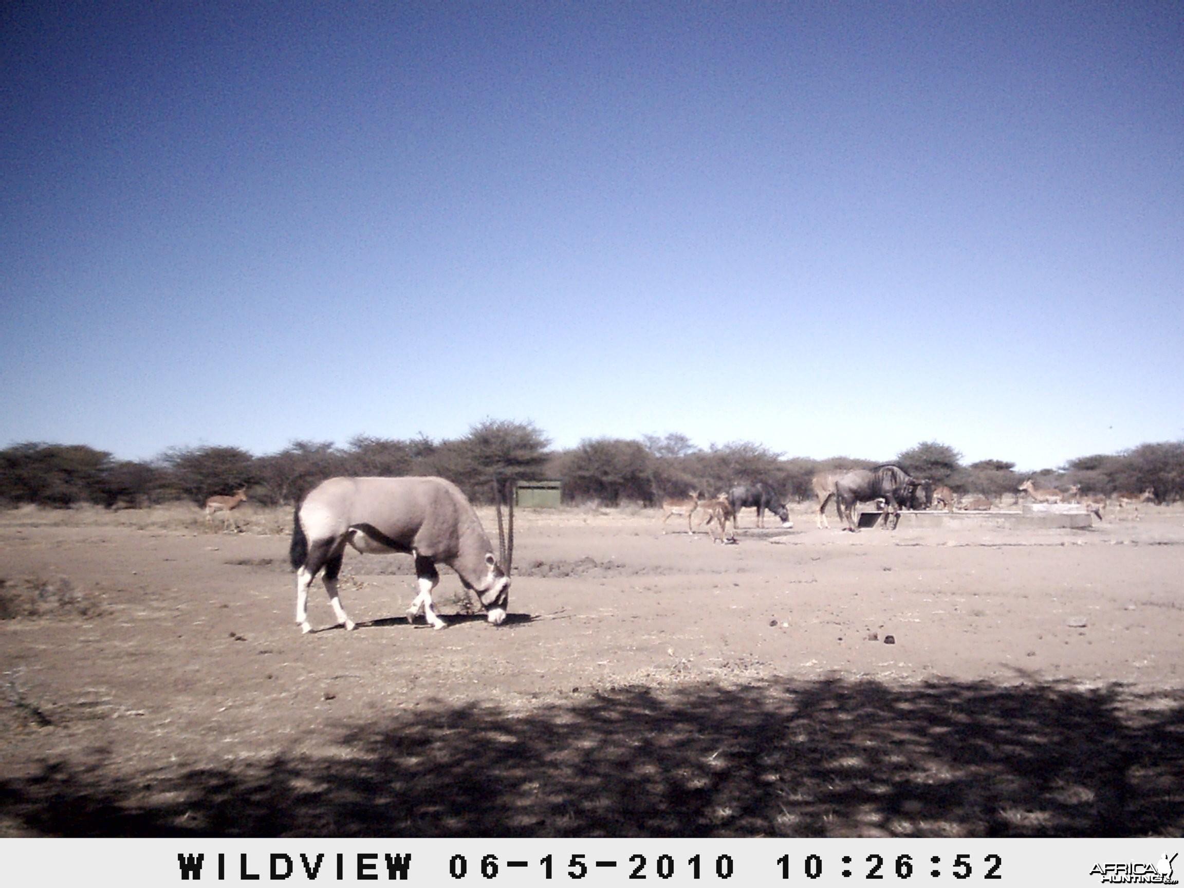 Kudu, Blue Wildebeest, Gemsbok, Impala, Namibia