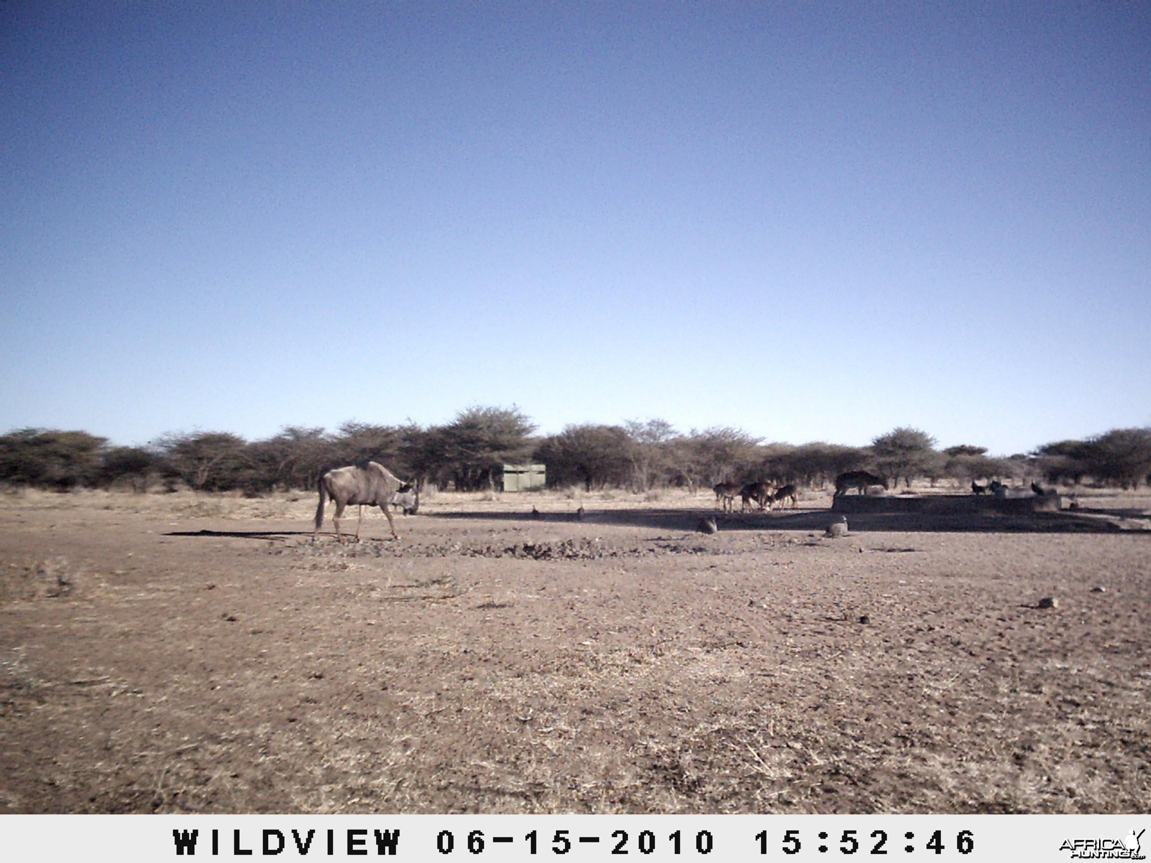 Blue Wildebeest and Impala, Namibia