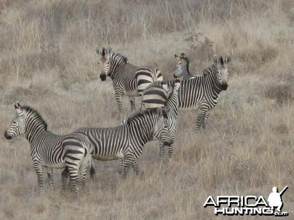 My new herd of Hartman Zebra