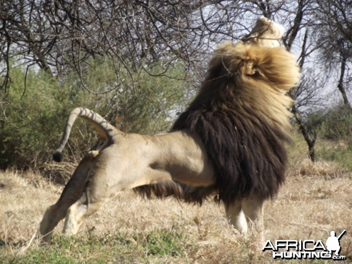100% Lion, South Africa