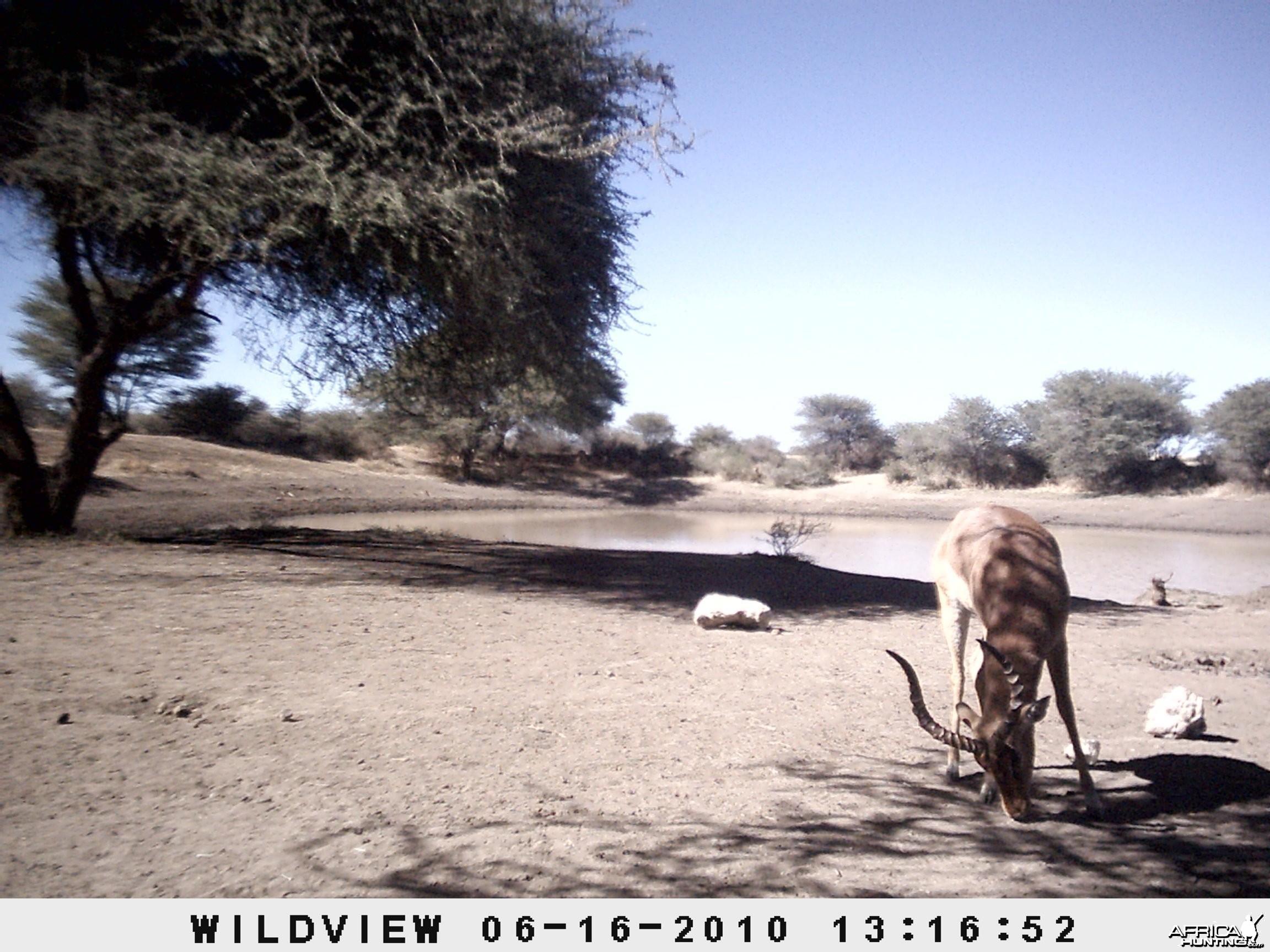 Impala, Namibia