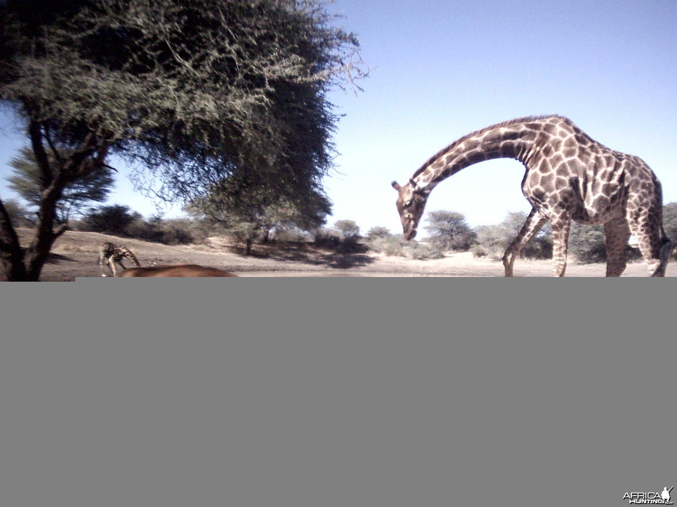 Impala and Giraffe, Namibia