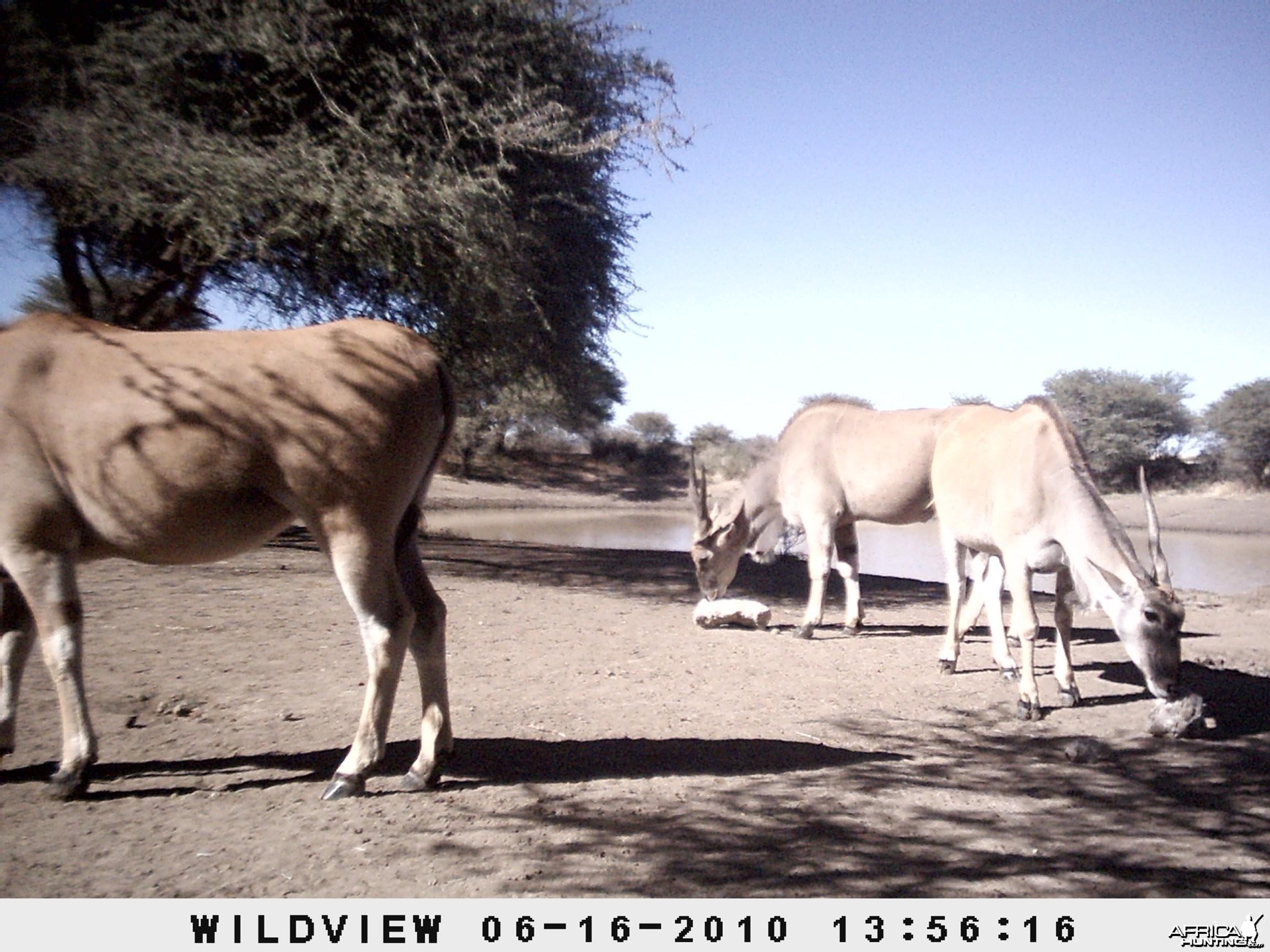 Cape Eland, Namibia
