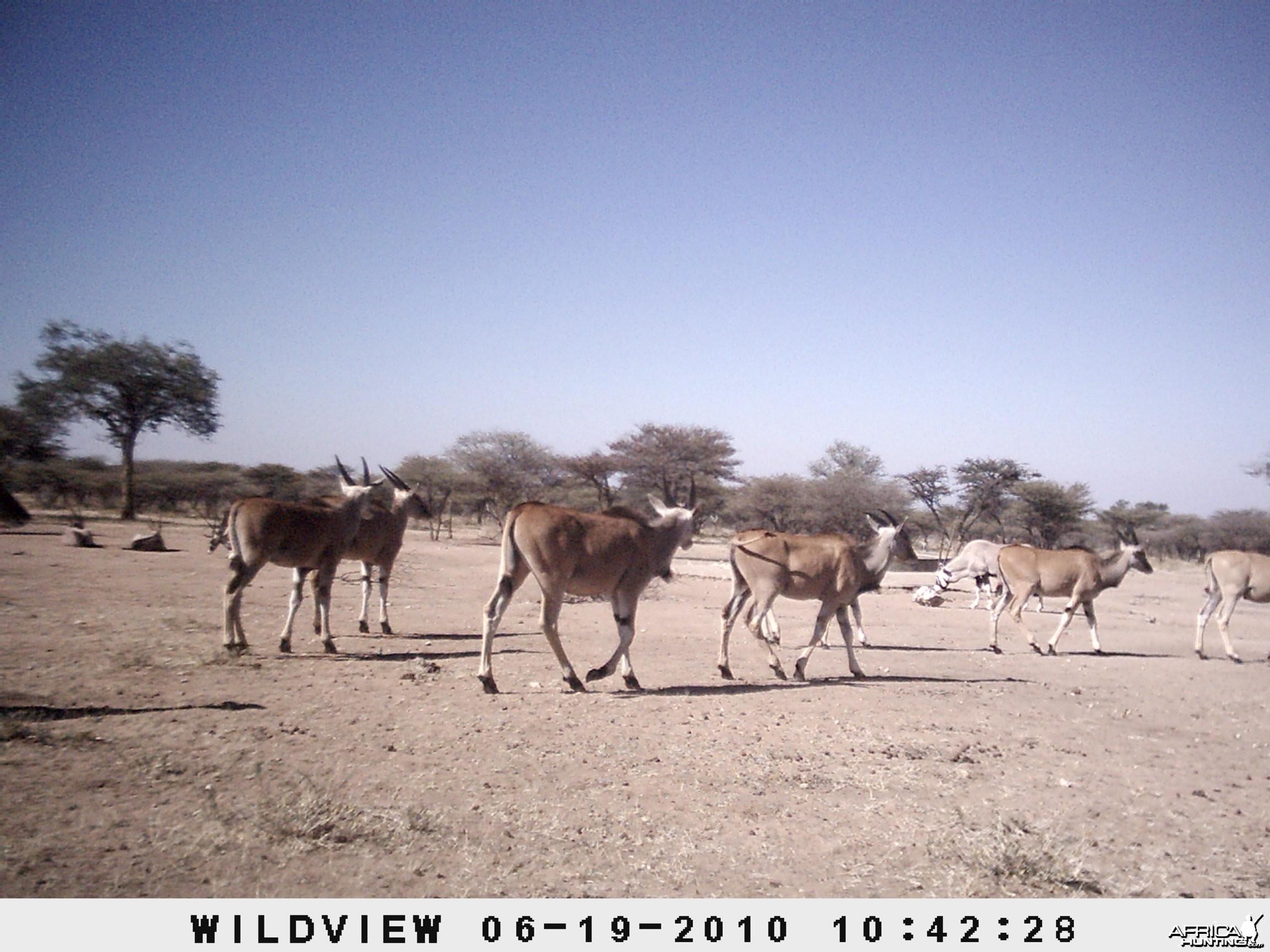 Cape Eland and Gemsbok, Namibia