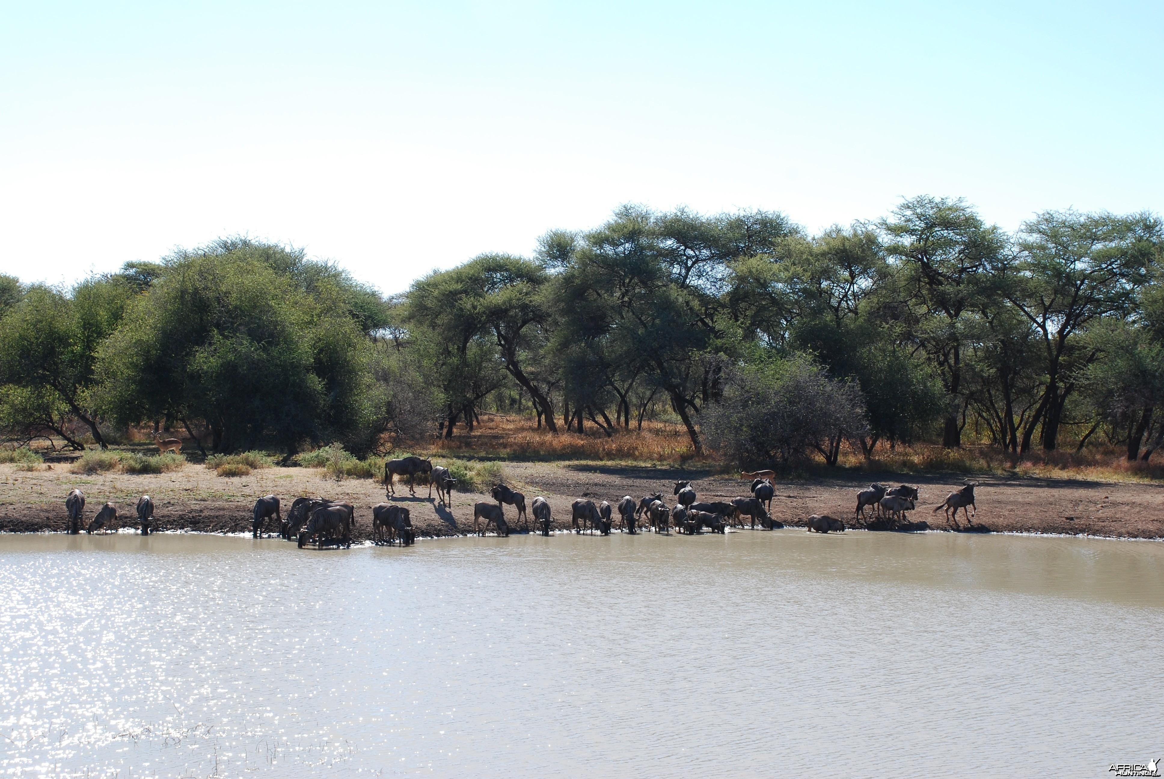 Wildebeest, Namibia