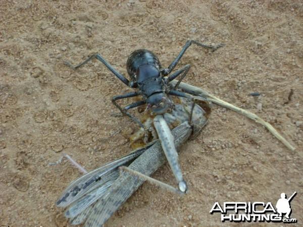 Jimminey cricket