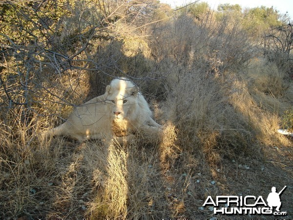 Nice young white Lion
