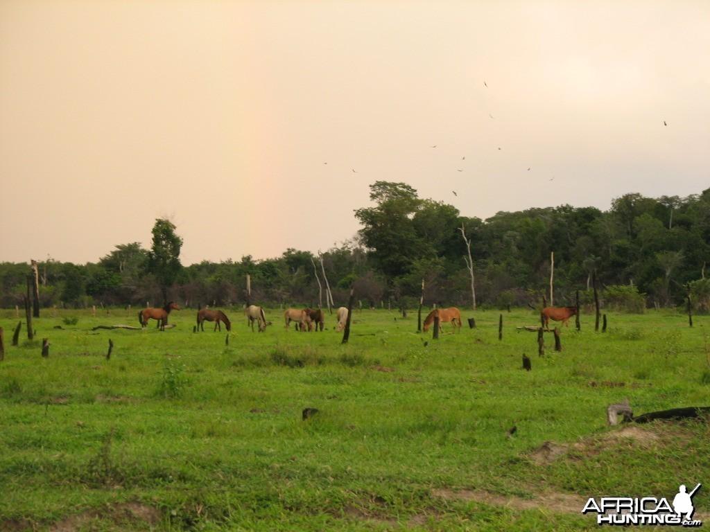 Wild horses in Roraima Brasil