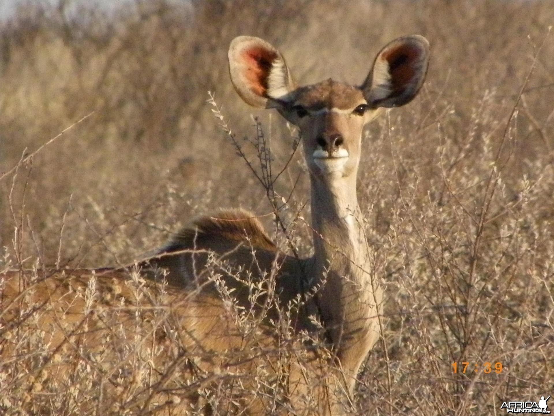 Female Kudu, Botswana