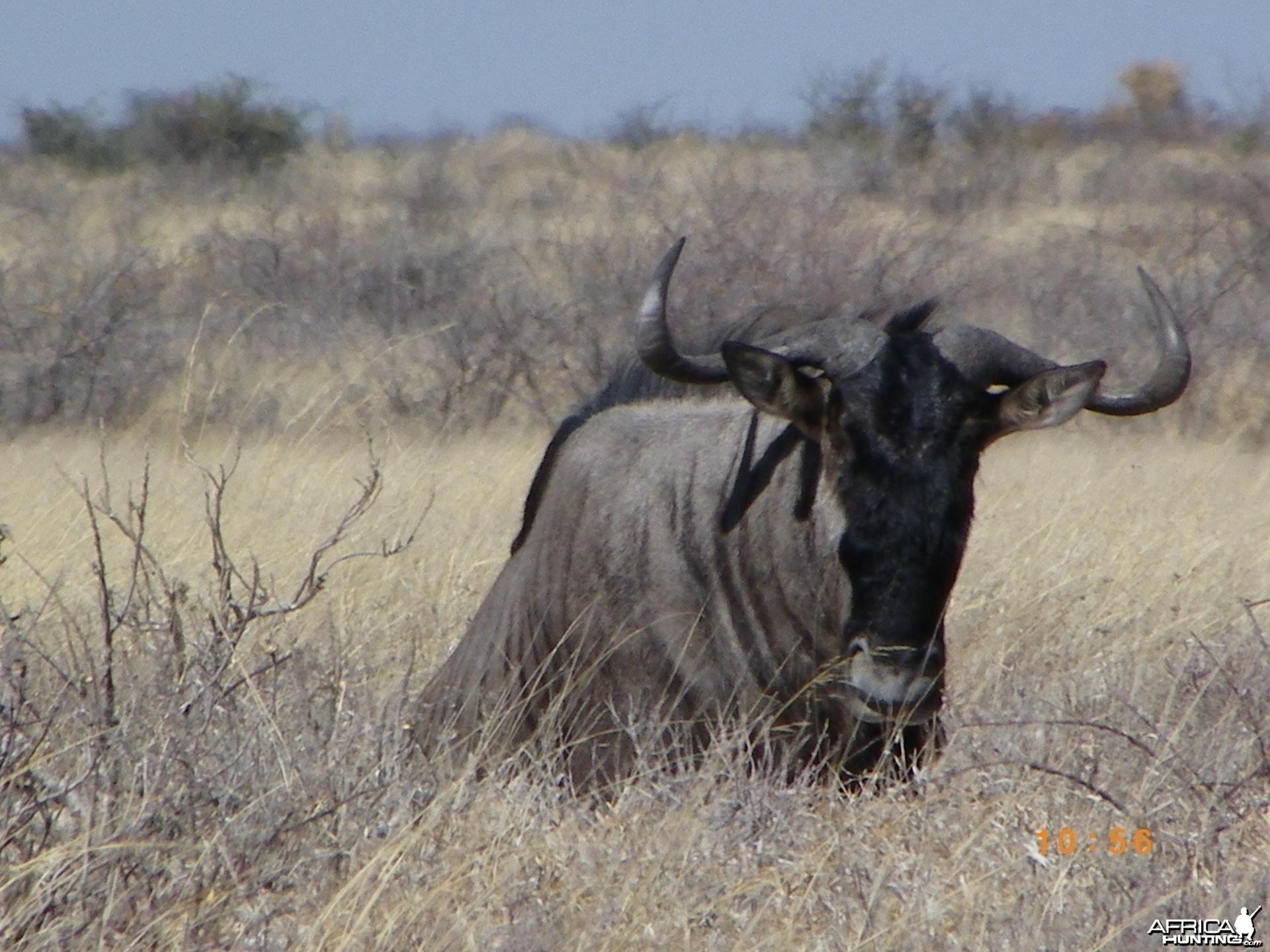 Blue Wildebeest, Botswana