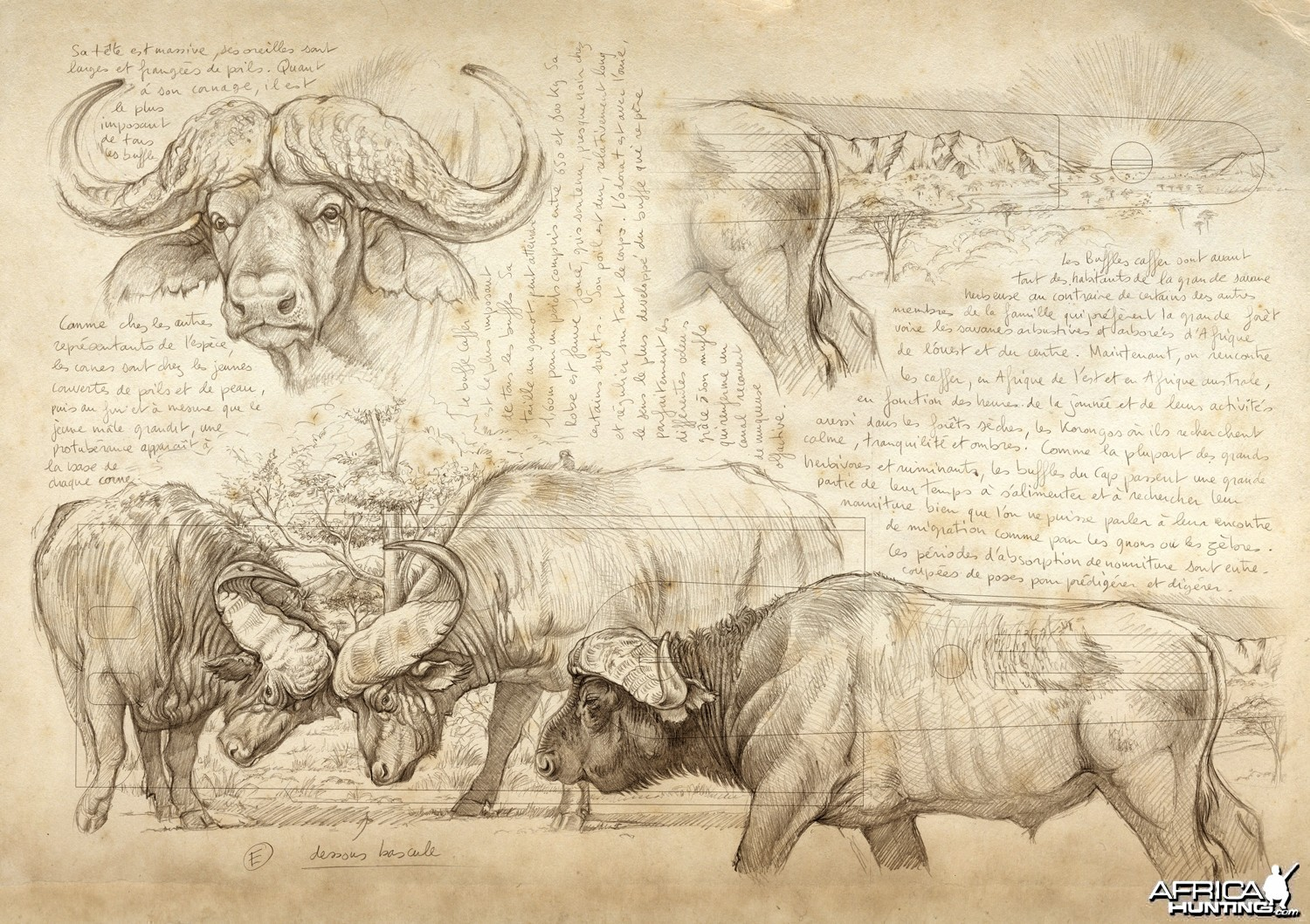Plan for Cape Buffalo Engraving on Double Rifle