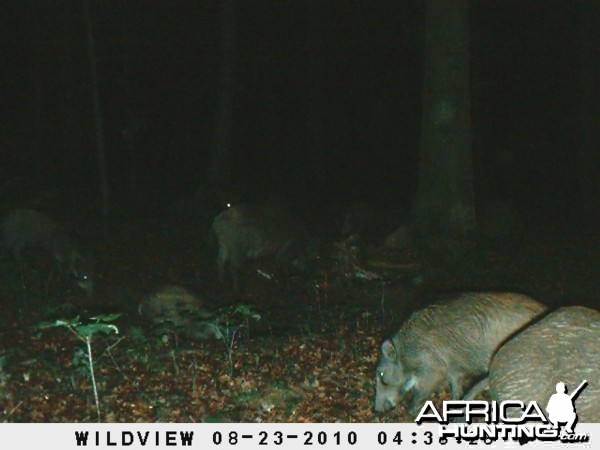 Trailcam shot of wild boar on the revere