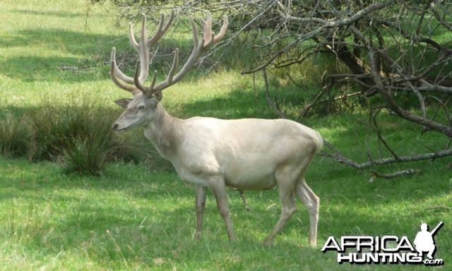 White Stag in France