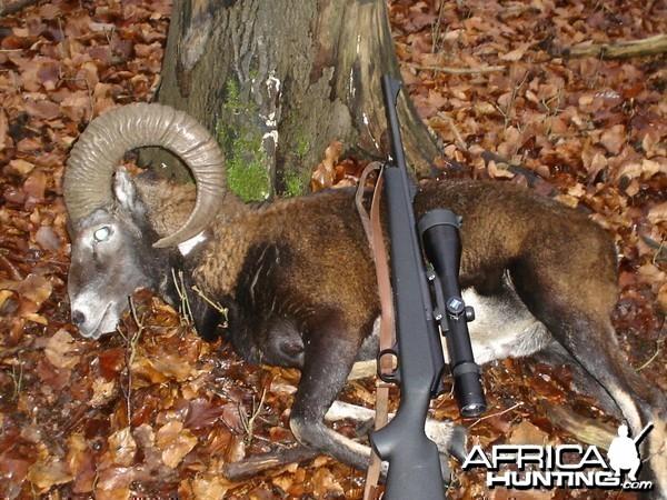Hunting Mouflon