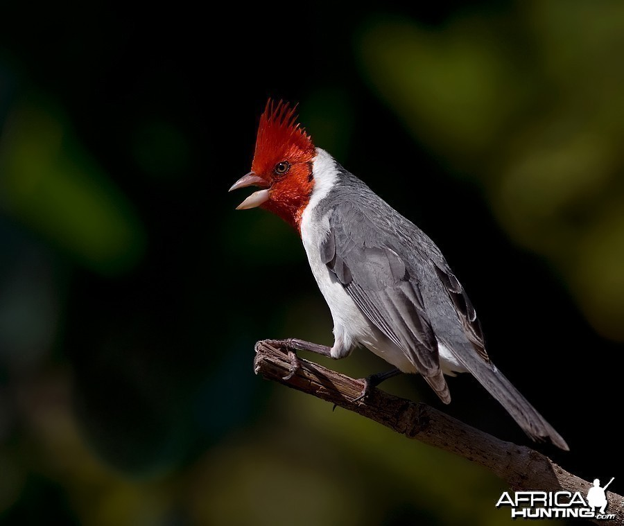 Brazilian Red Head Cardinal