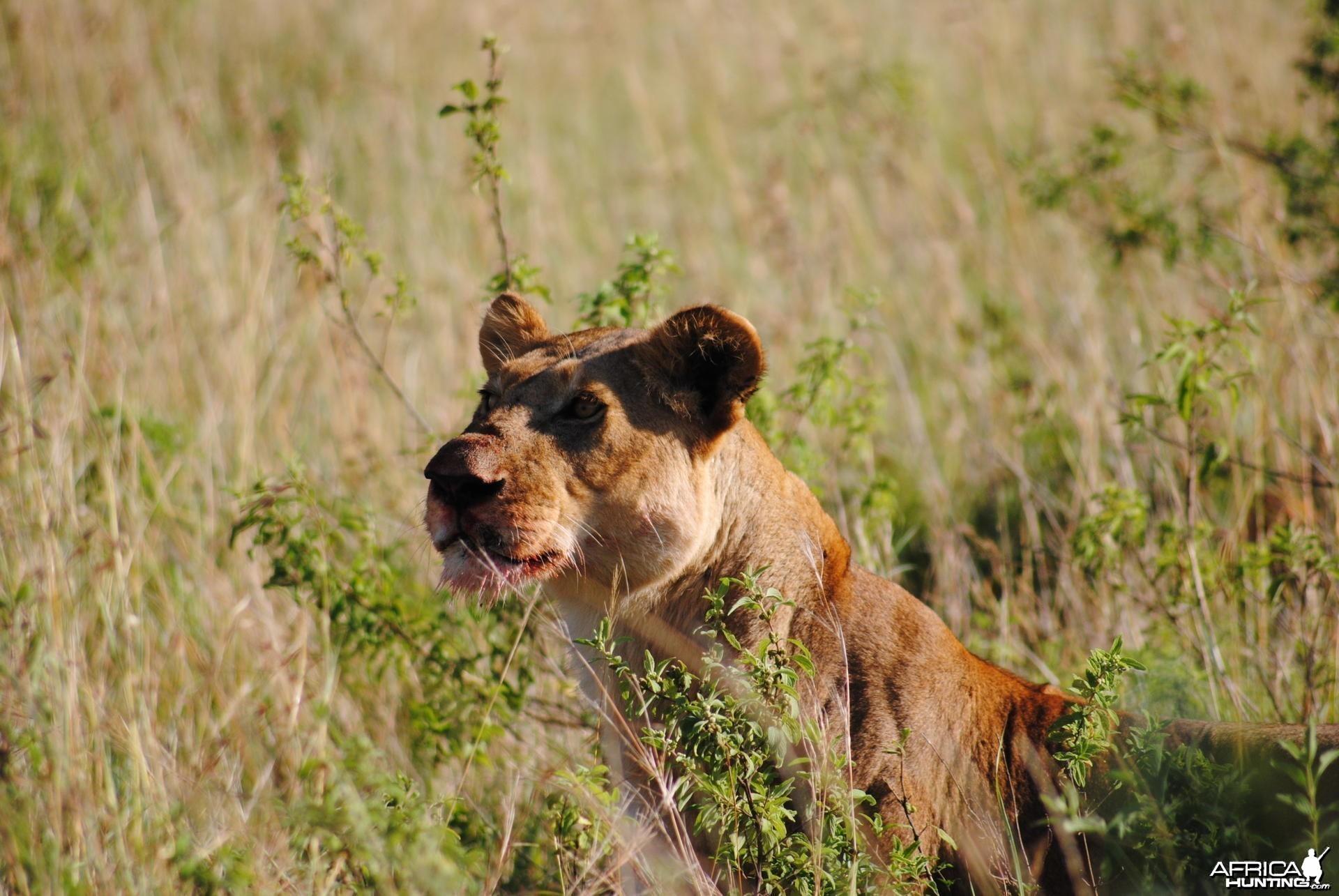 Lioness Masaai Mara in Kenya
