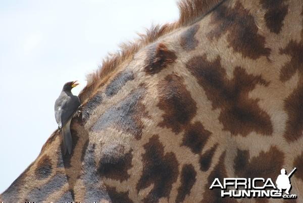 Giraffe Masaai Mara in Kenya