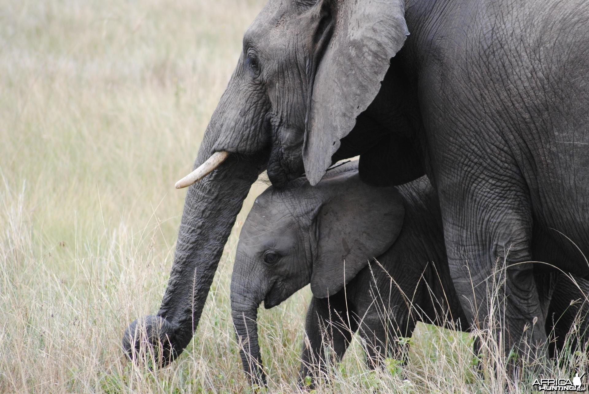 Elephant Masaai Mara in Kenya