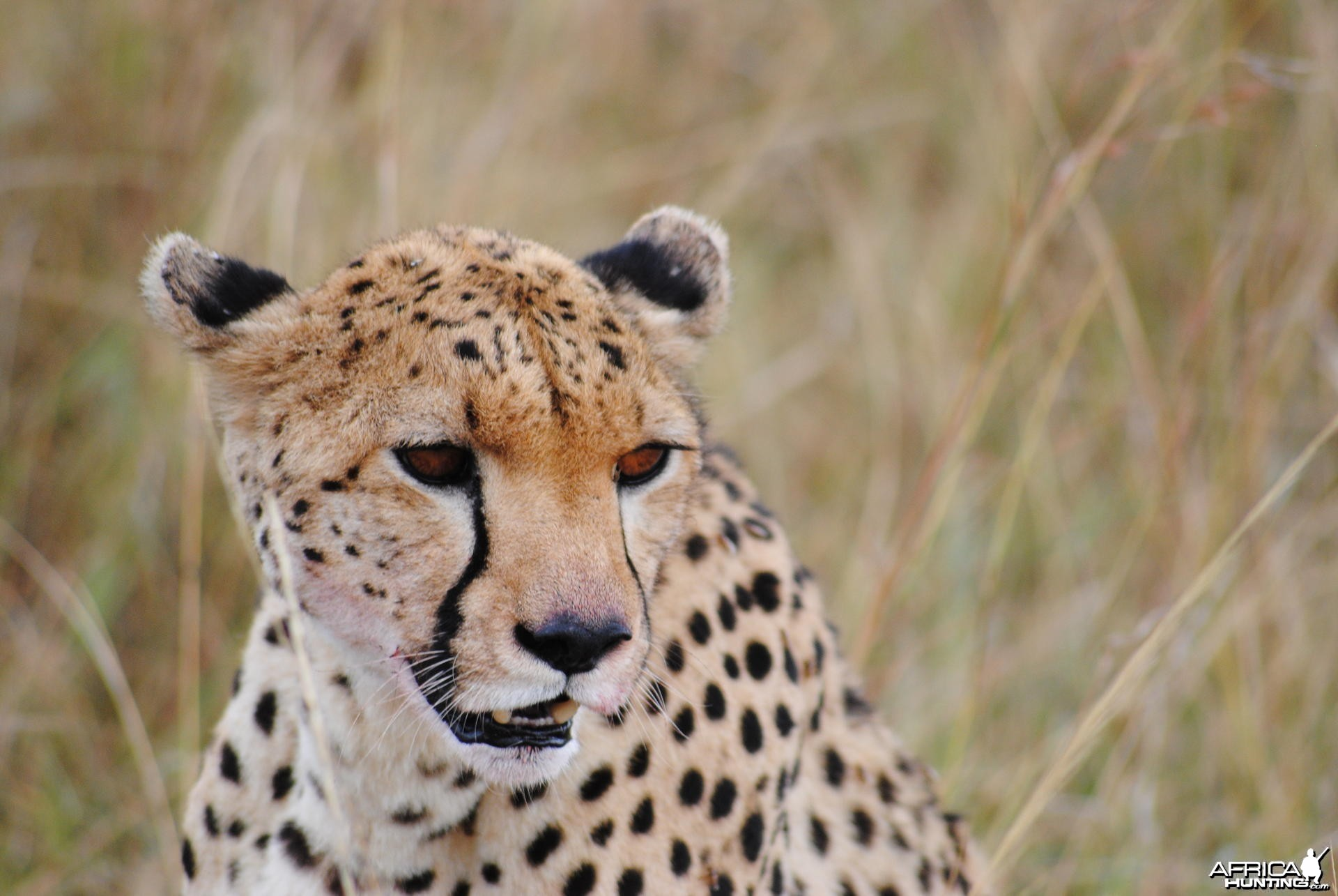 Cheetah Masaai Mara in Kenya