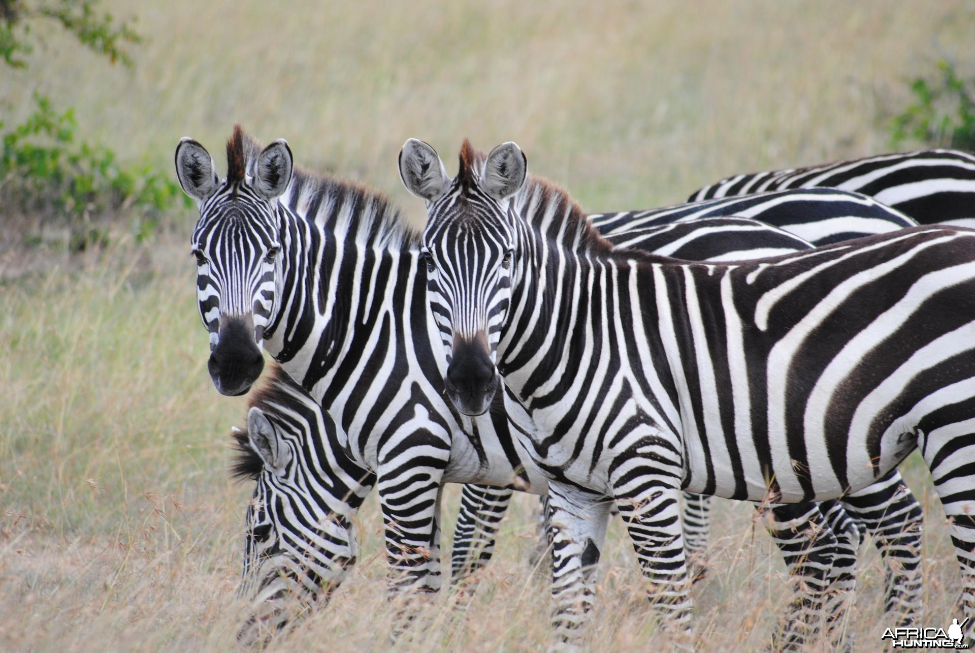 Zebras on the Masaai Mara in Kenya