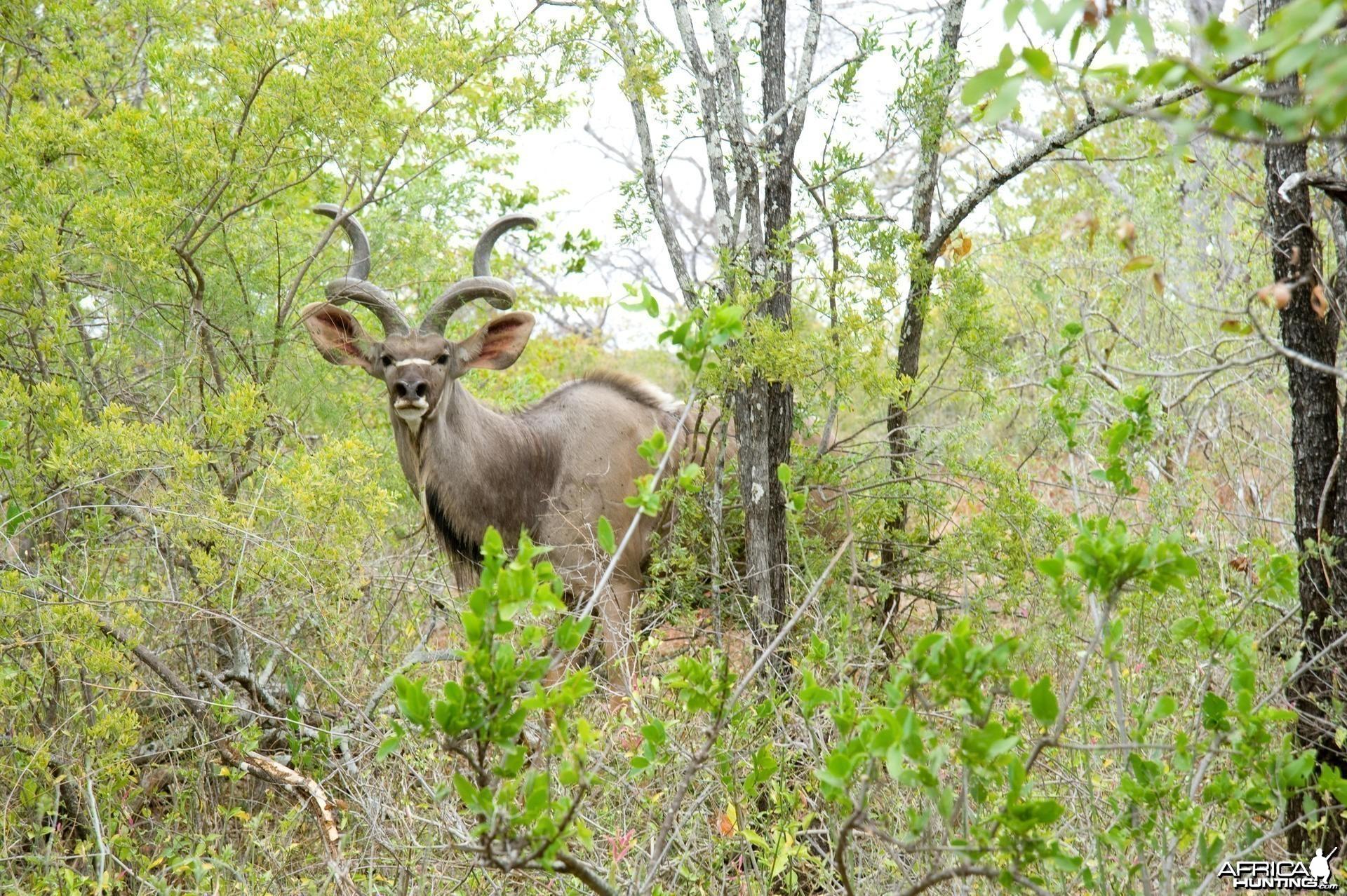 Kudu in Zimbabwe