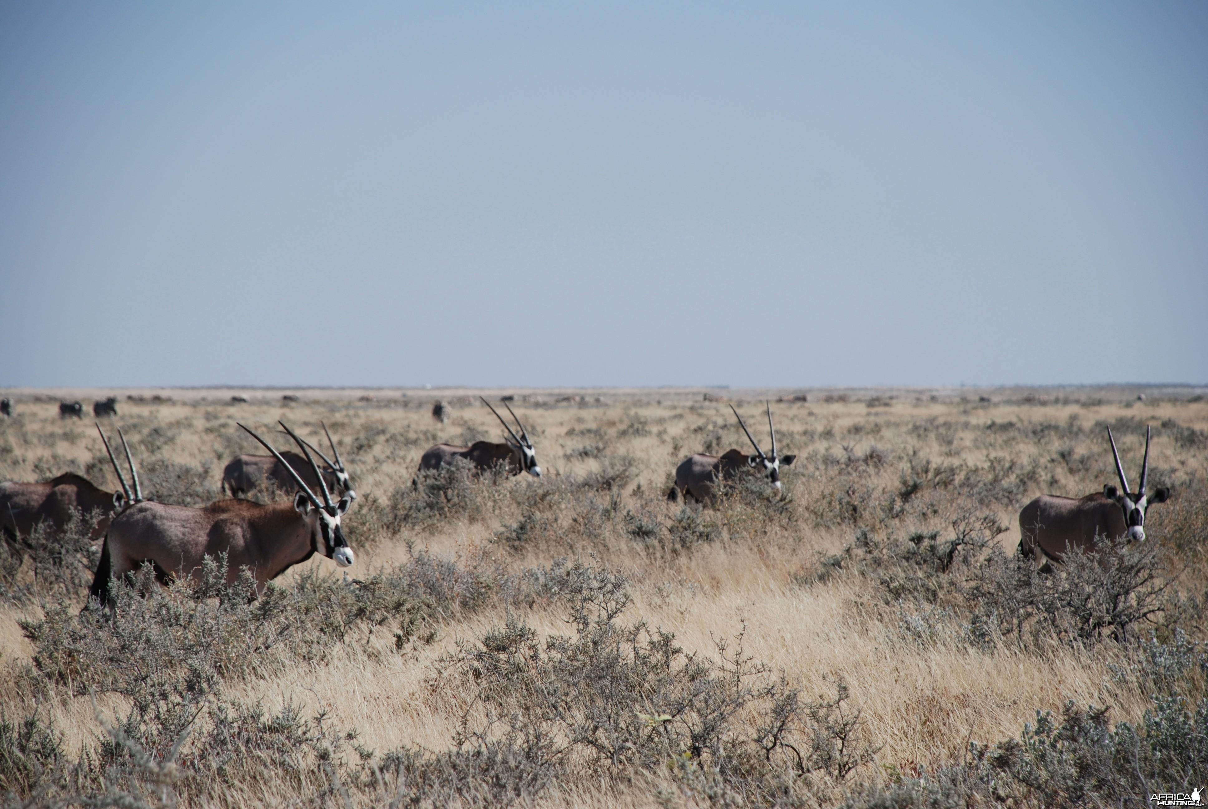 Gemsbok at Etosha Namibia