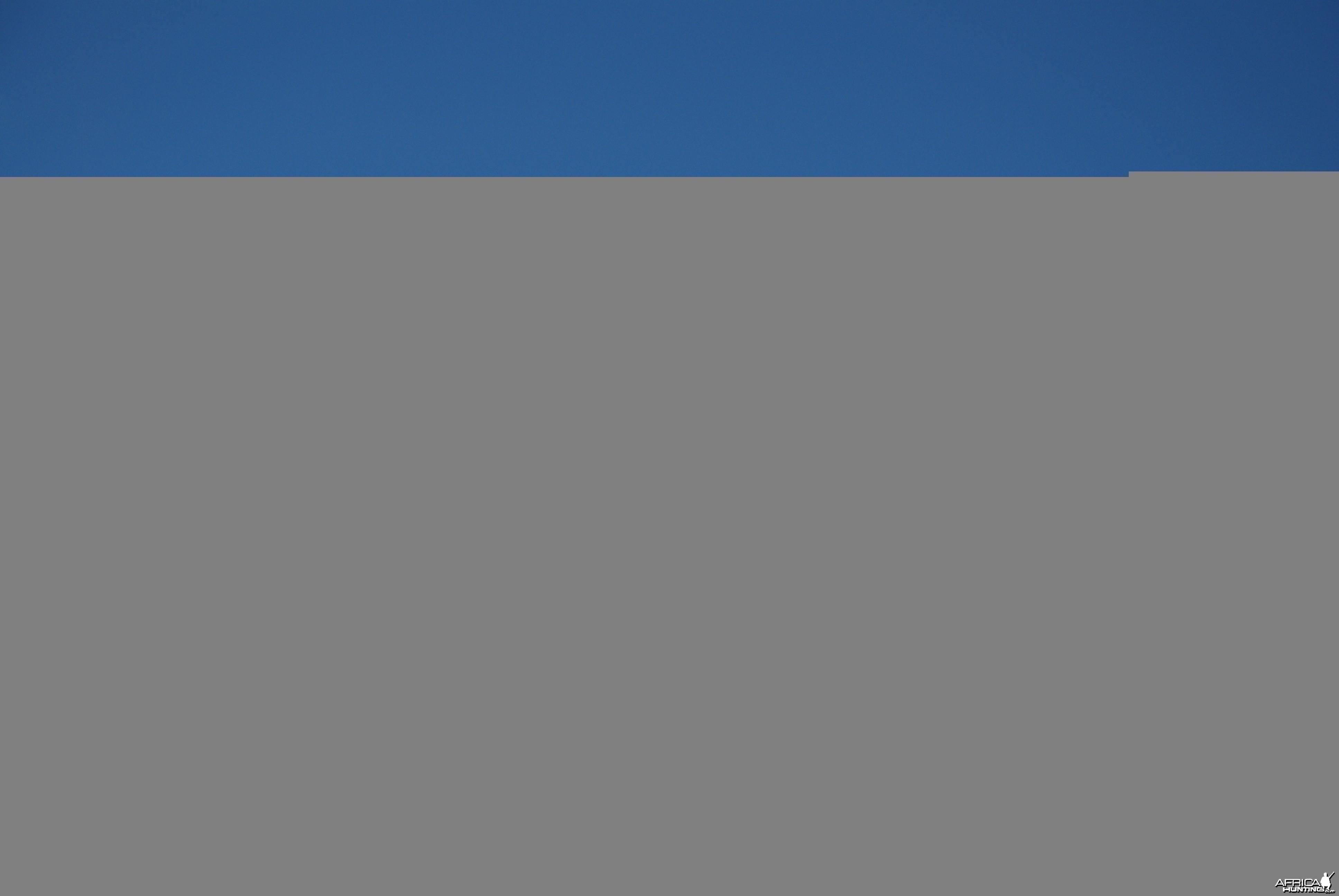 Pied Crow Namibia