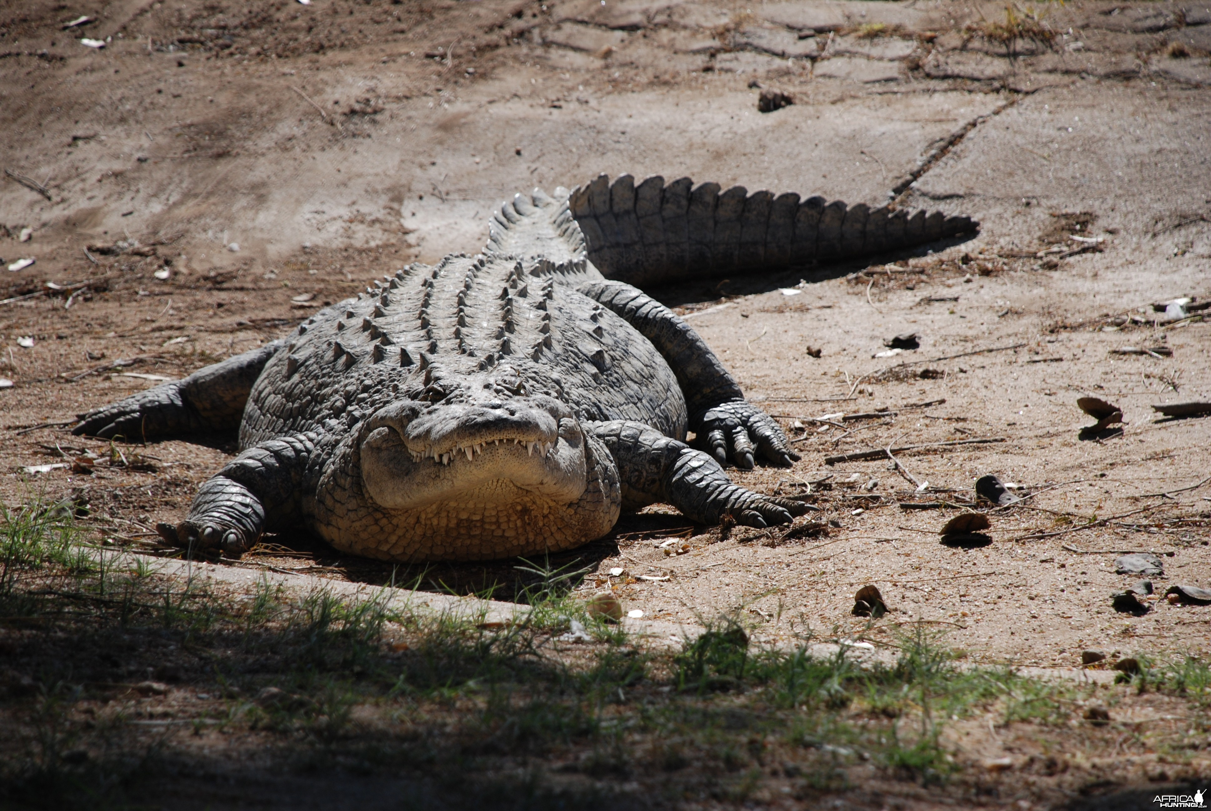 Croc at Croc farm in Namibia