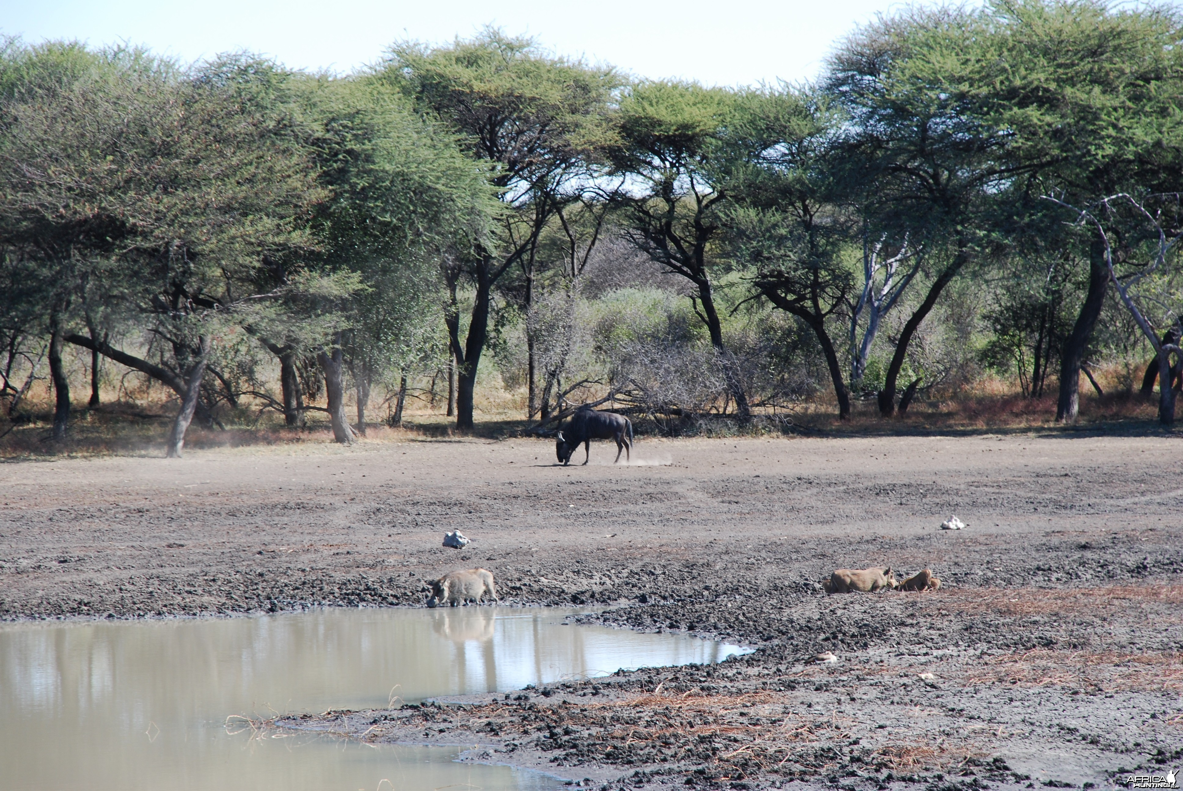 Blue Gnu and Warthog Namibia