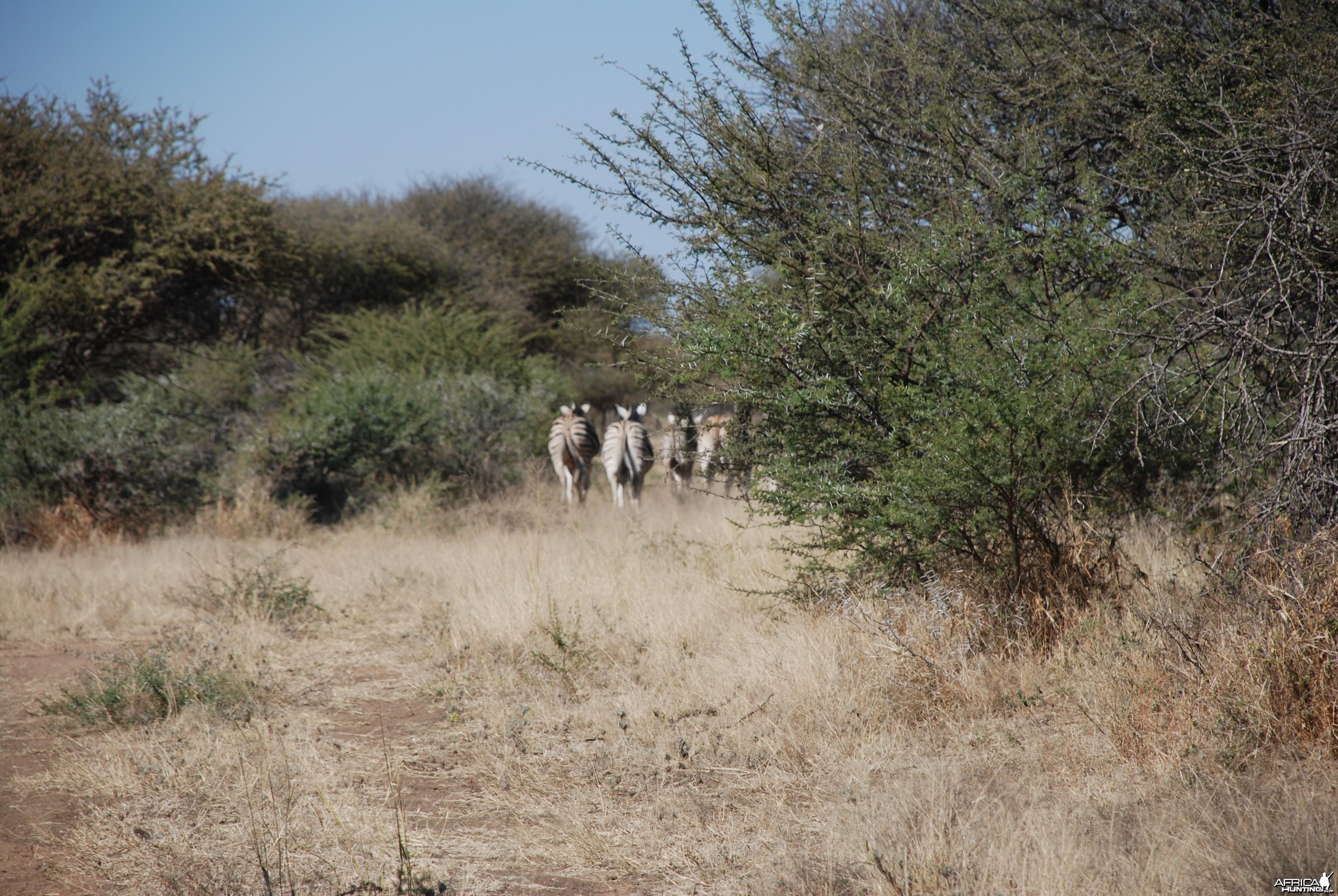 Burchell's Zebra Namibia