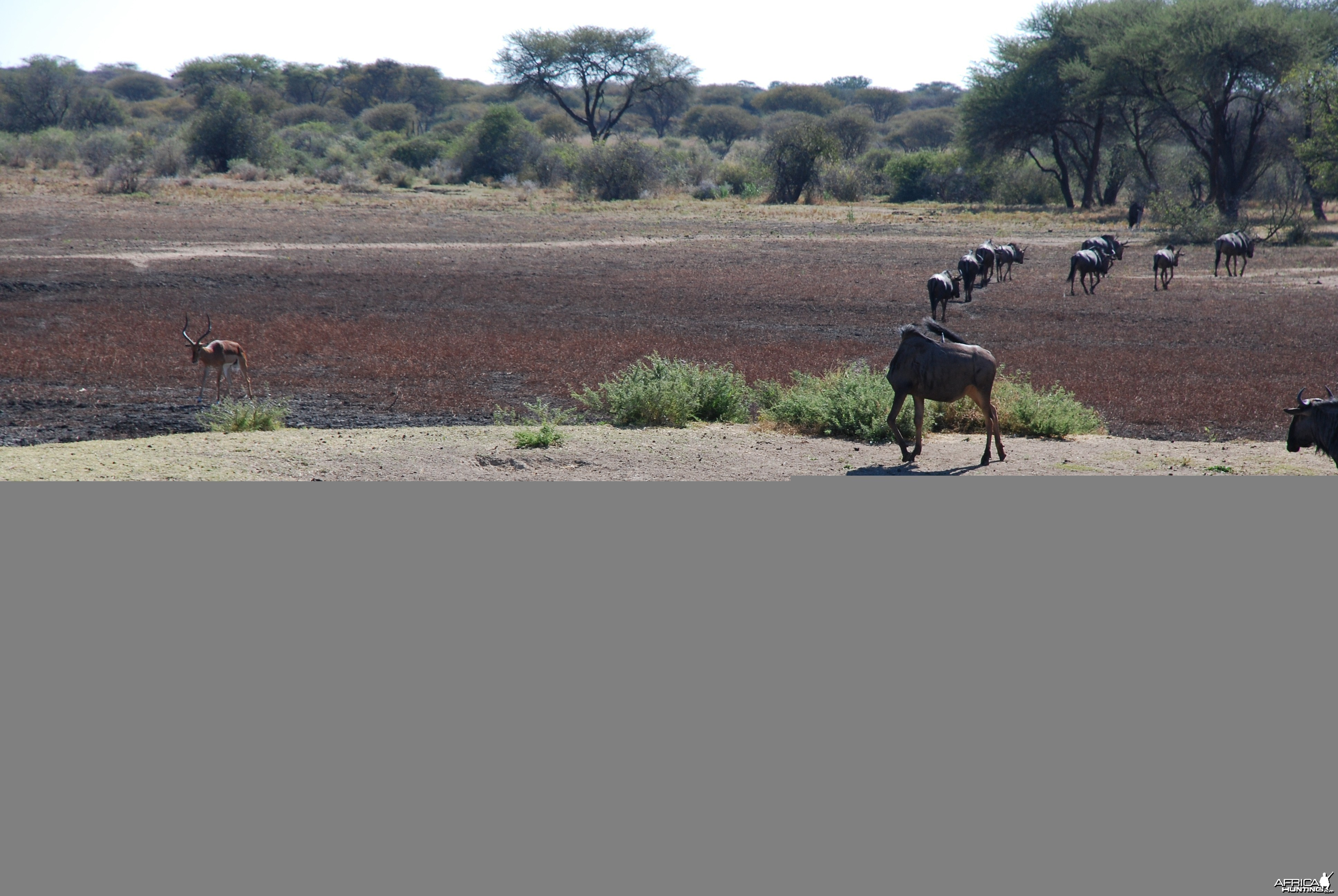 Blue Wildebeest, Hartebeest and Impala Namibia