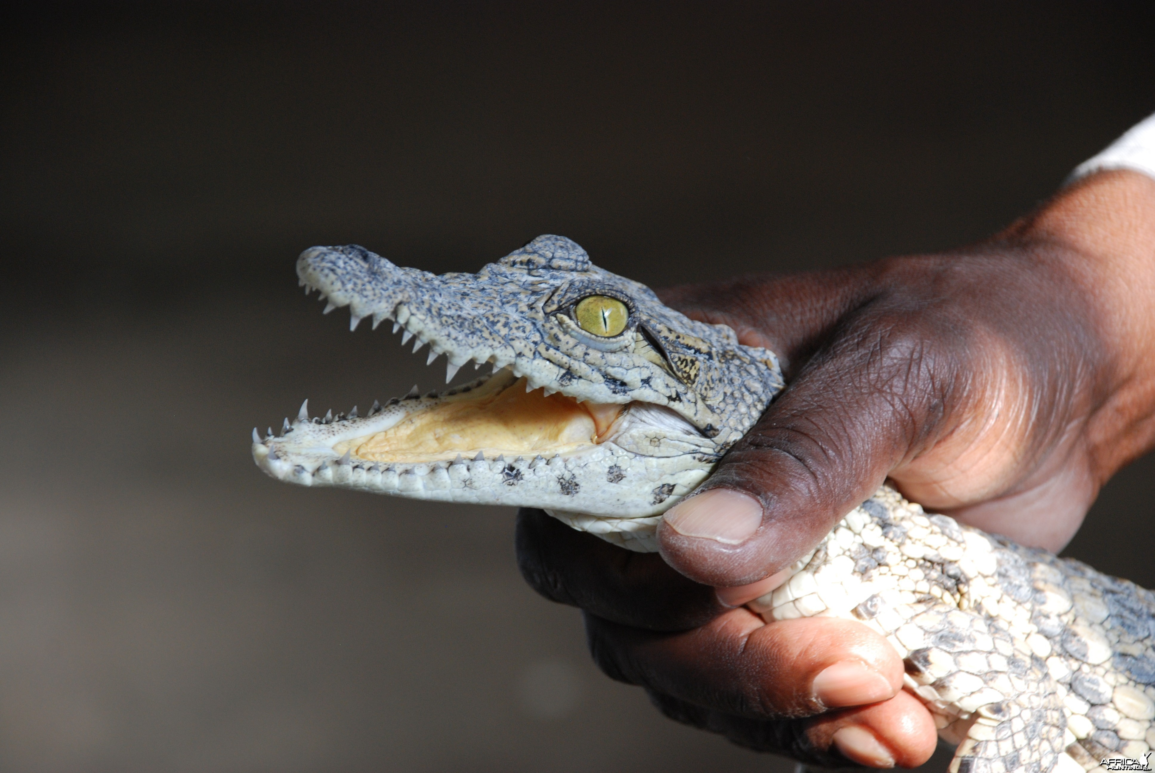 Small Croc Namibia