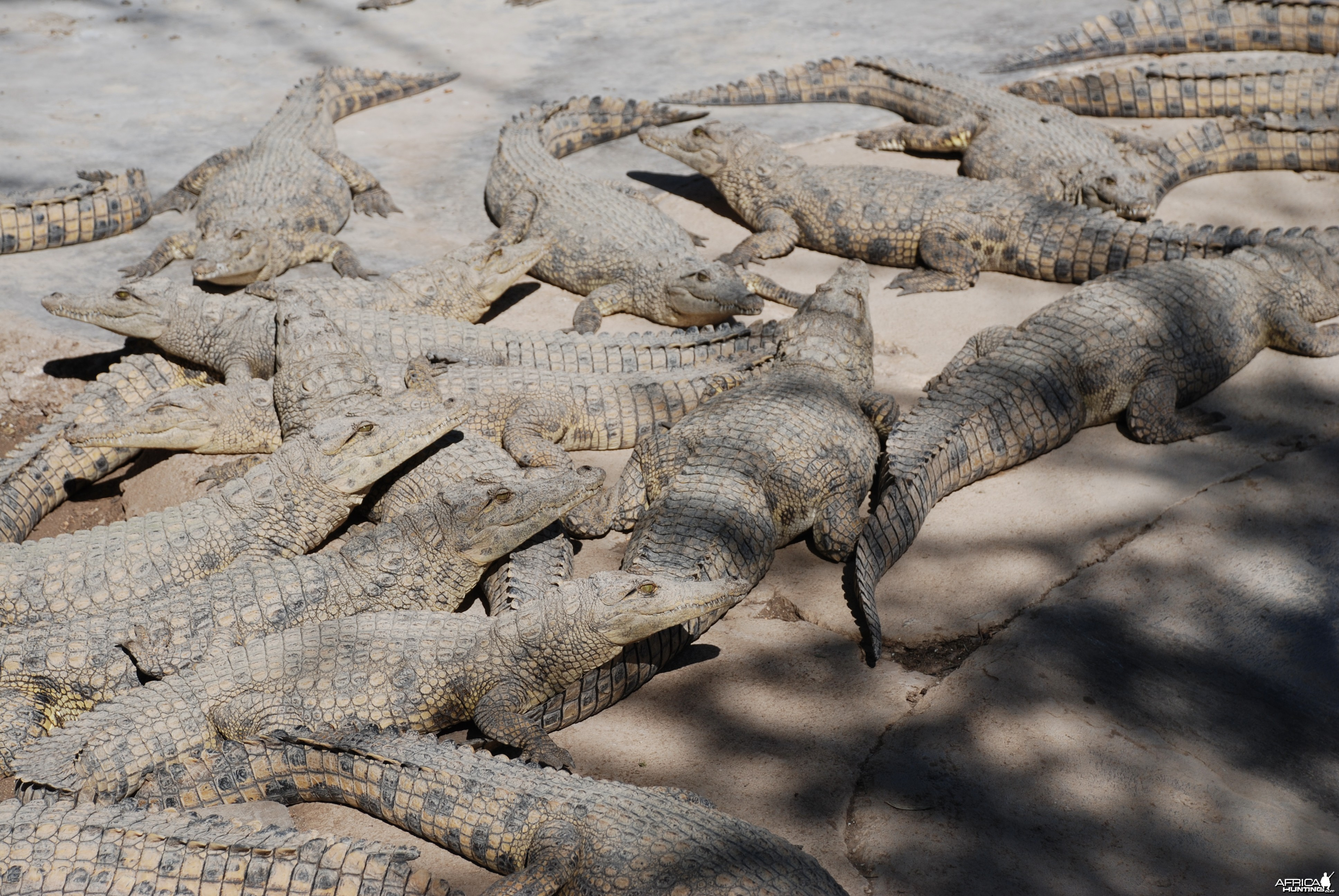 Crocs at Croc farm in Namibia