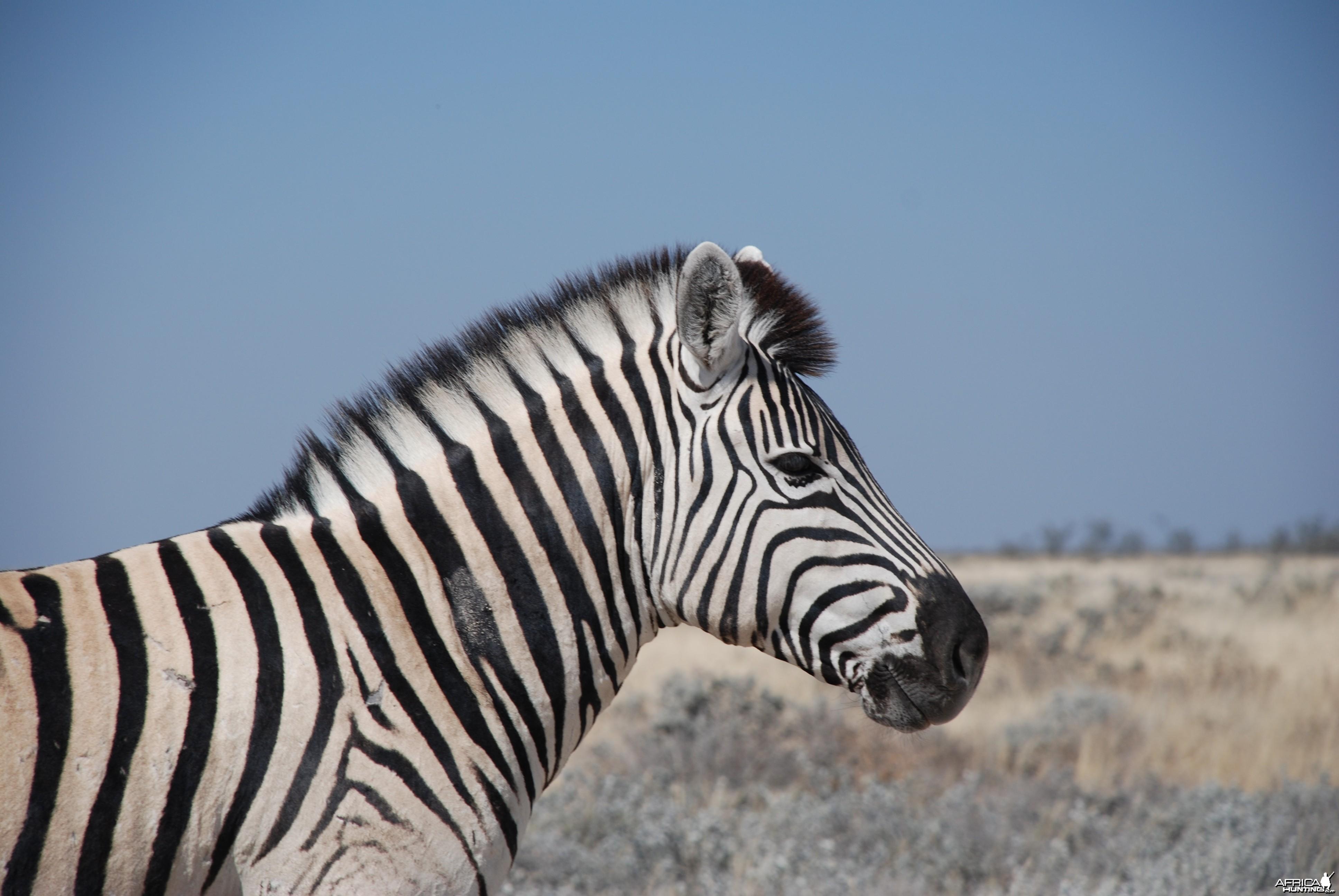 Zebra at Etosha Namibia