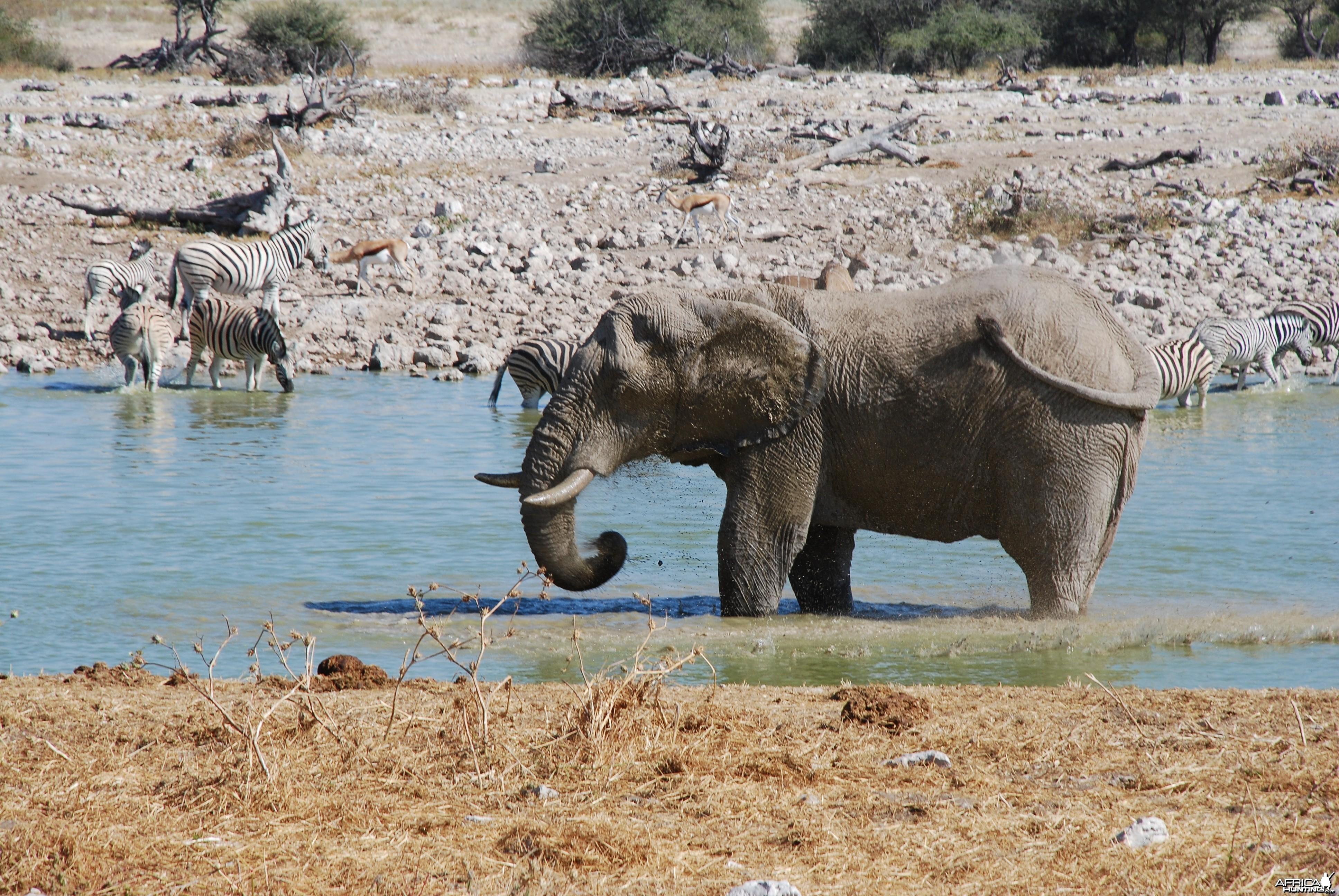 Elephant at Etosha Namibia