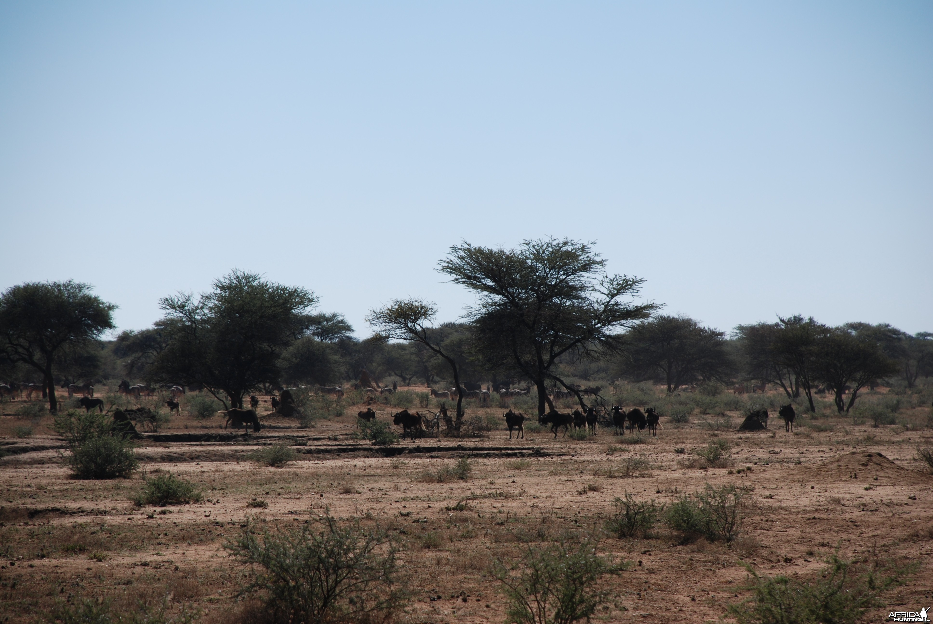Black Wildebeest, Zebra and Gemsbok
