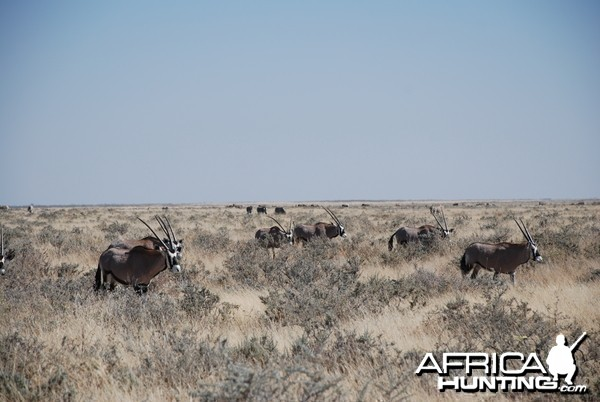 Gemsbok Etosha Namibia