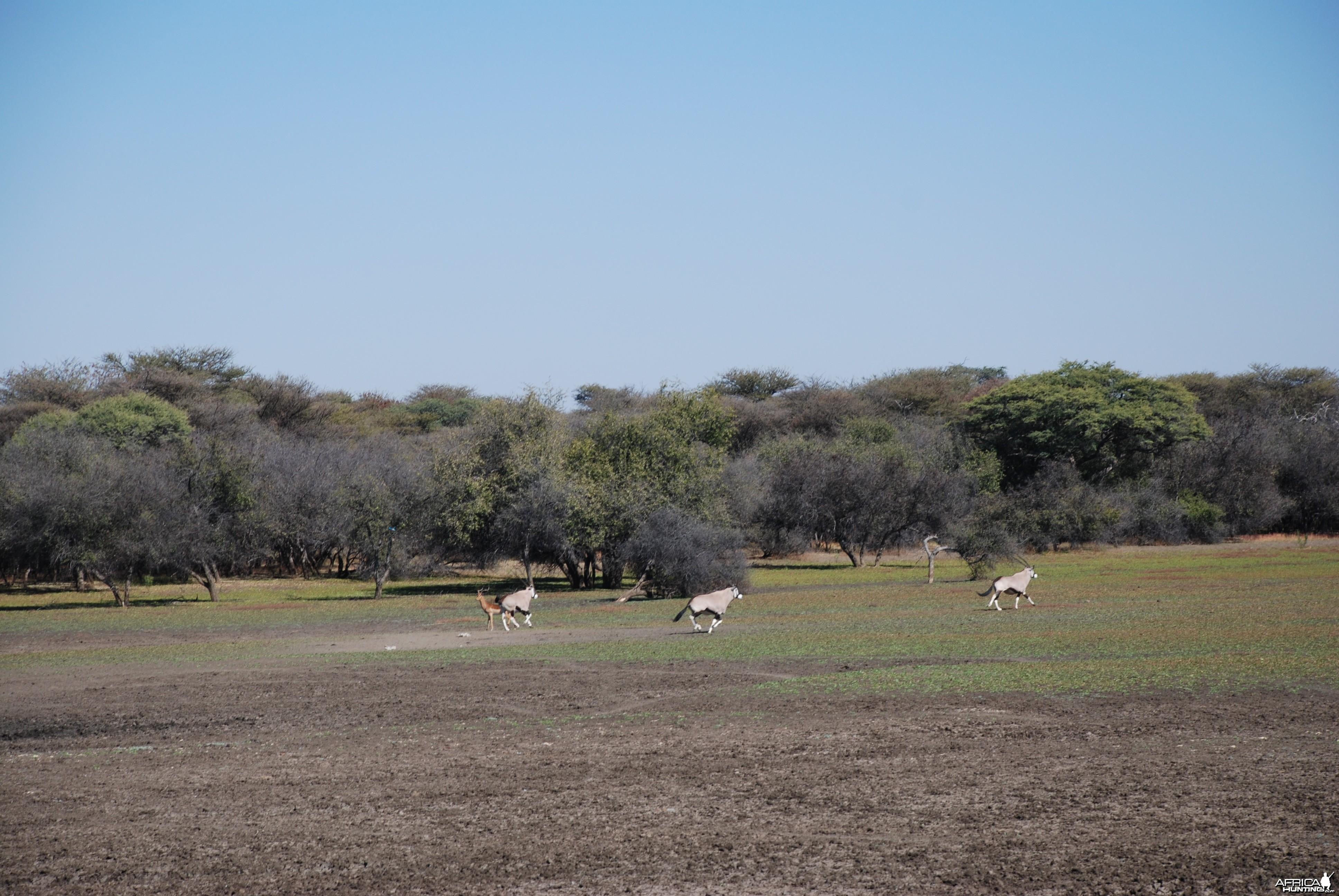 Gemsbok and Impala