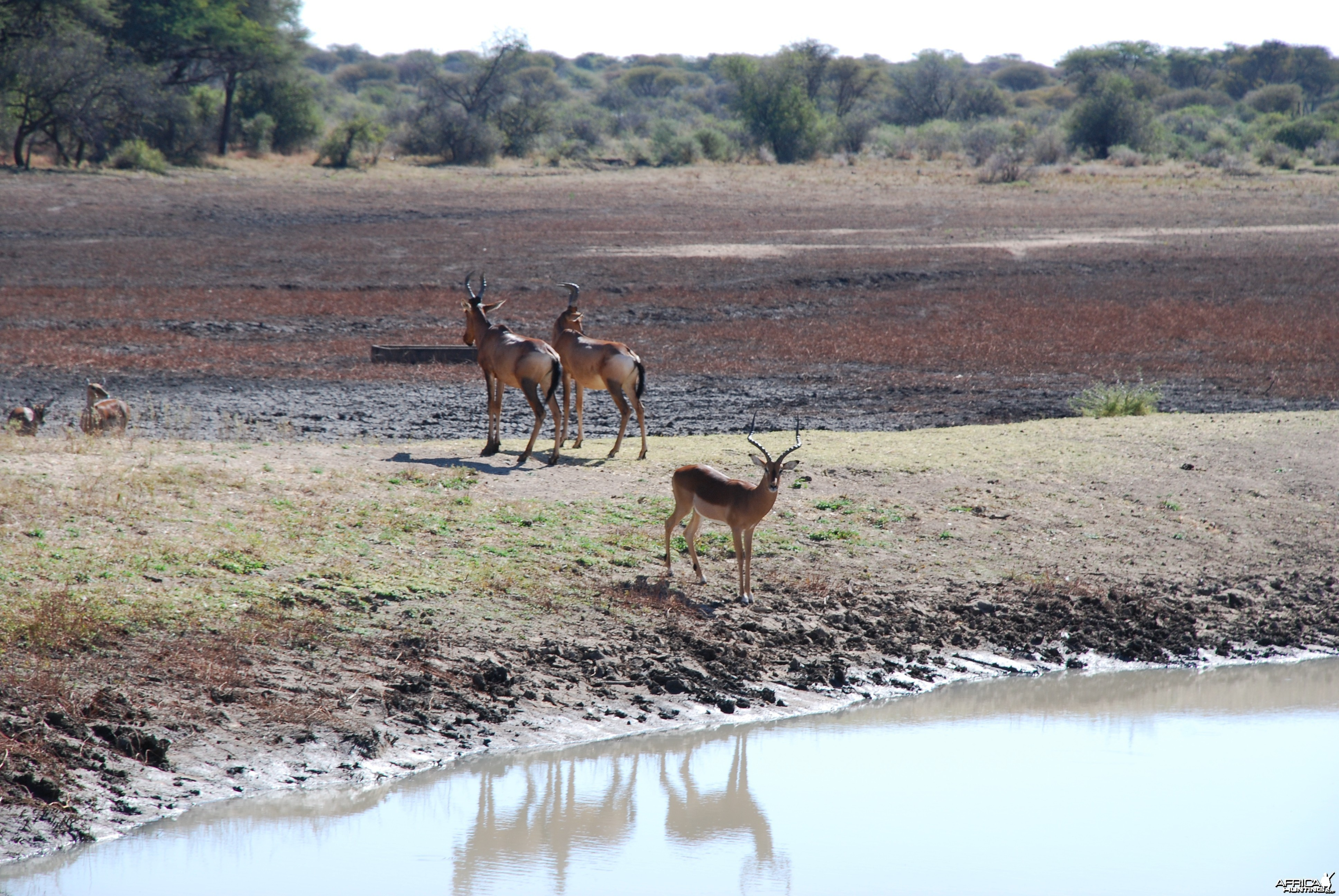 Hartebeest and Impala