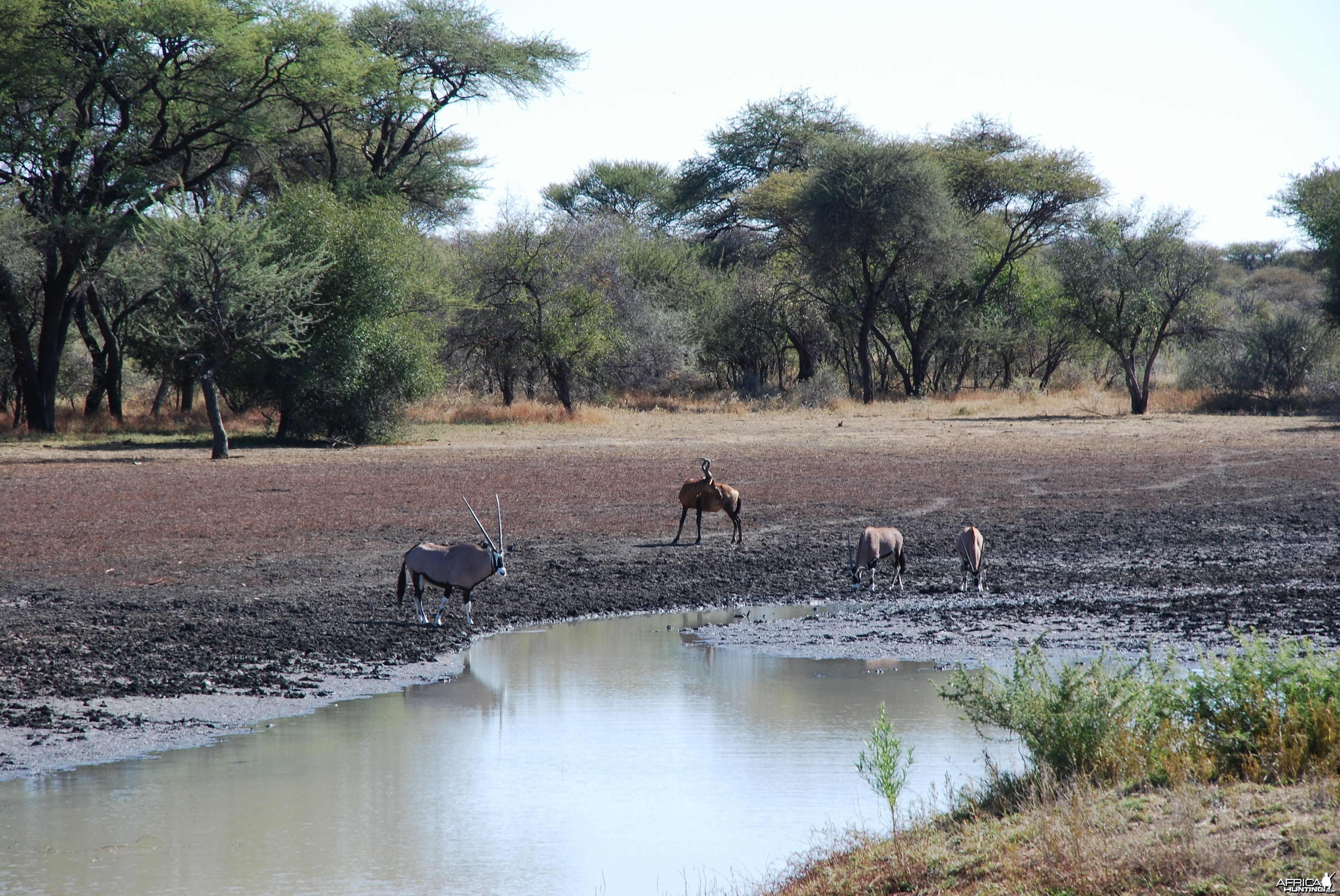 Hartebeest and Gemsbok