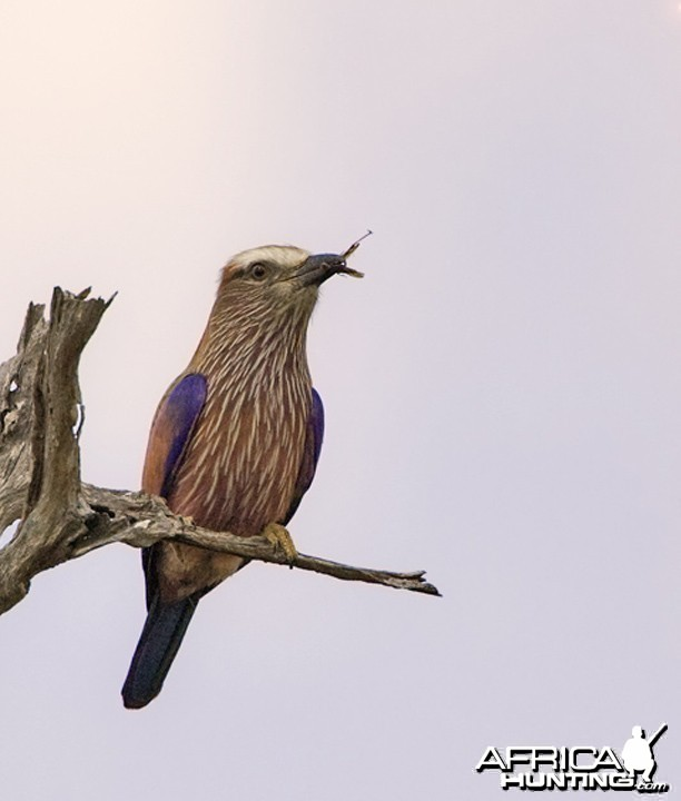 Lilac Breasted Roller South Africa