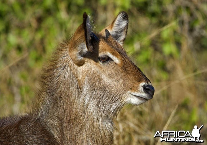 Waterbuck South Africa