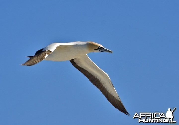 Cape Gannet South Africa
