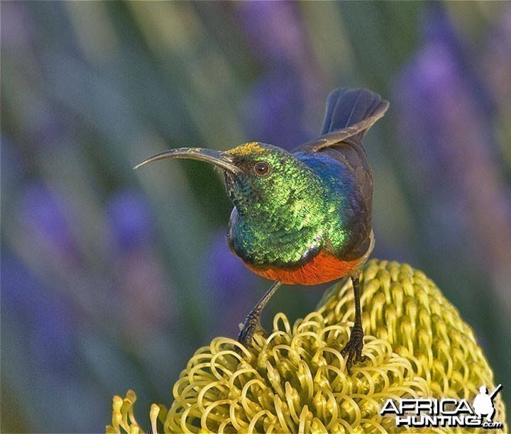 Marico Sunbird South Africa