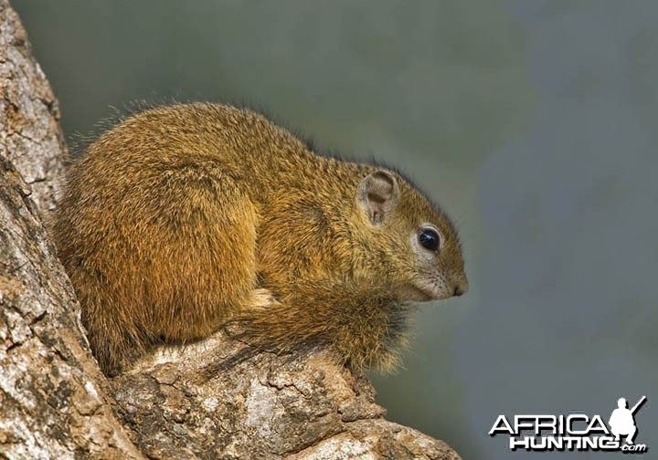 Tree Squirrel South Africa