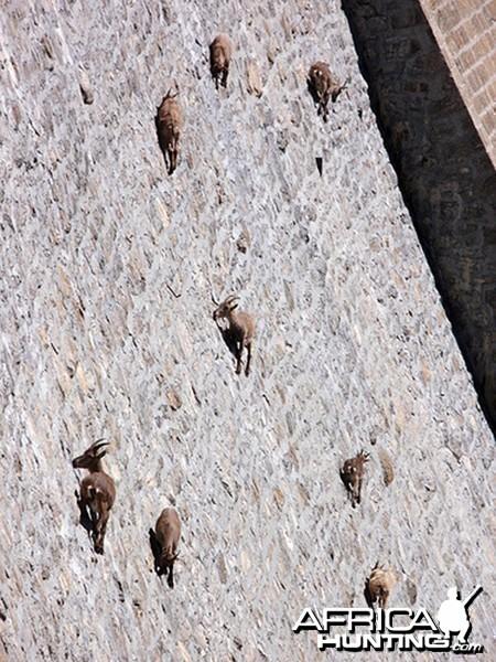 Mountain Sheeps on a Dam...