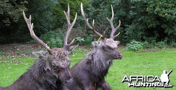 Sika stag hunt in Northern Ireland
