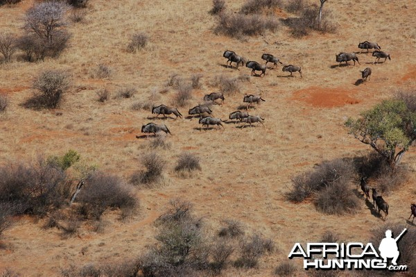 Blue Wildebeest in Namibia